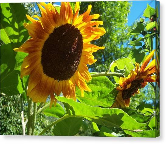 Sunflower 122 Canvas Print by Ken Day
