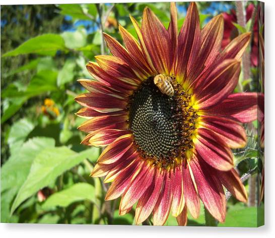 Sunflower 129 Canvas Print by Ken Day