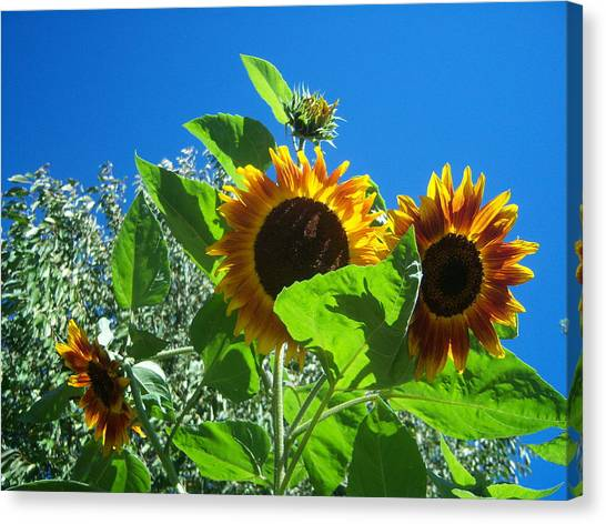 Sunflower 131 Canvas Print by Ken Day