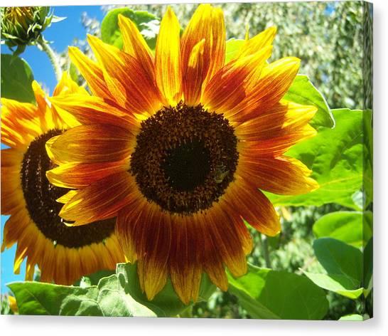 Sunflower 140 Canvas Print by Ken Day