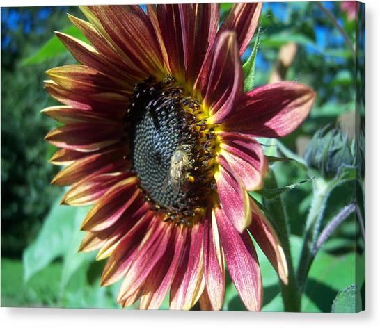 Sunflower 147 Canvas Print by Ken Day