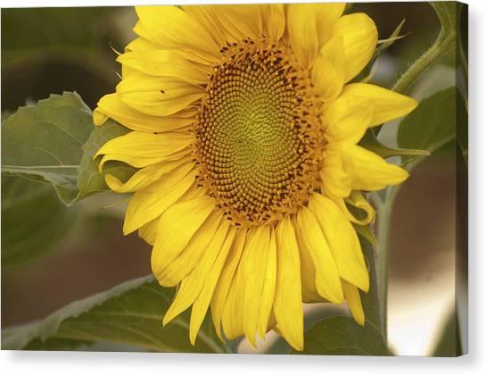 Sunflower-2 Canvas Print by Alexander Rozinov