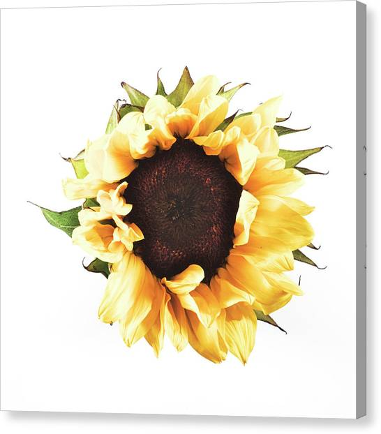 Sunflower #2 Canvas Print