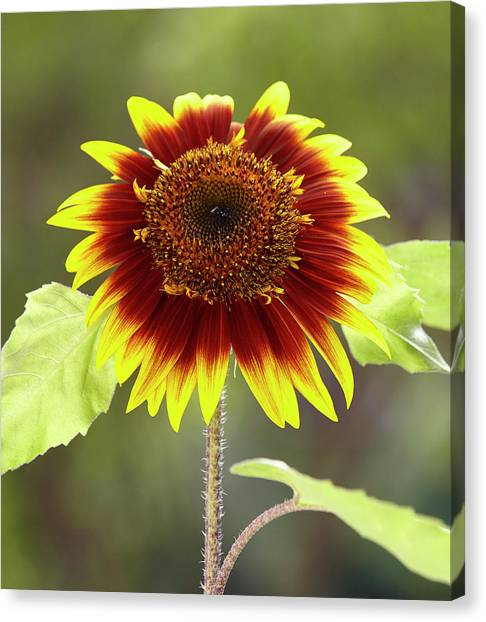 Sunflower 2 Canvas Print