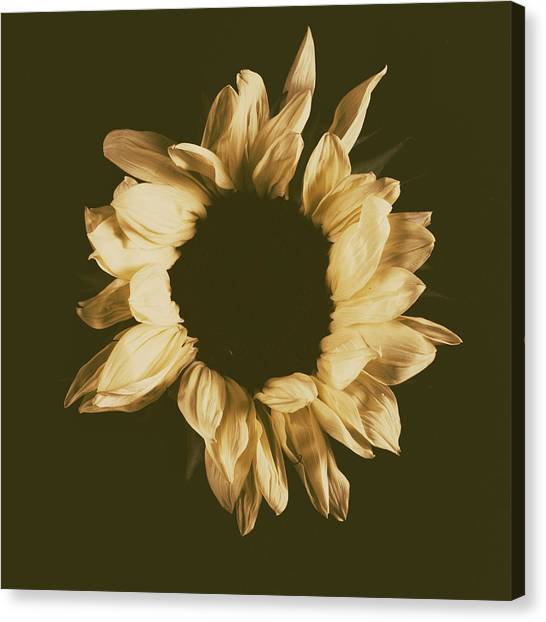Sunflower #3 Canvas Print