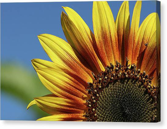 Sunflower 38 Canvas Print
