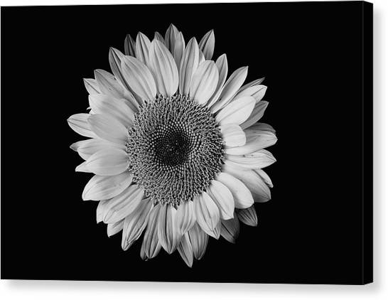 Sunflower #7 Canvas Print