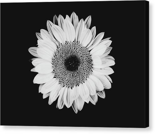 Sunflower #8 Canvas Print