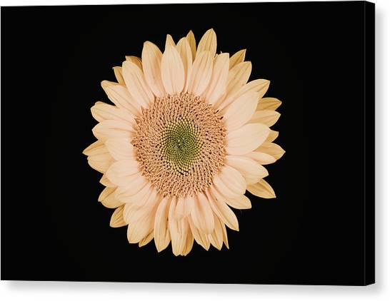 Sunflower #9 Canvas Print