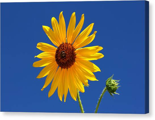 Sunflower Against Blue Sky Canvas Print