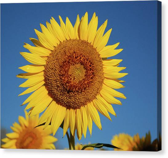 Sunflower And Blue Sky Canvas Print