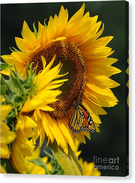 Sunflower And Monarch 3 Canvas Print