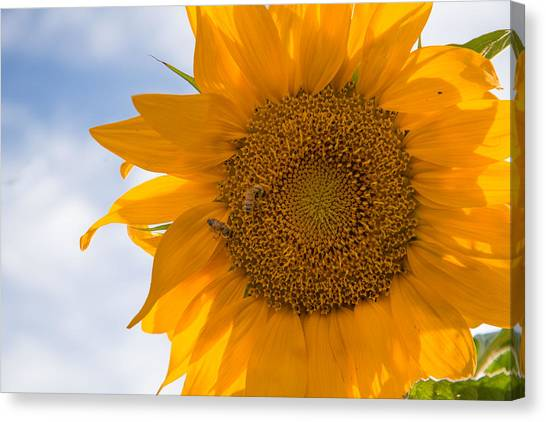 Sunflower And The Bee  Canvas Print