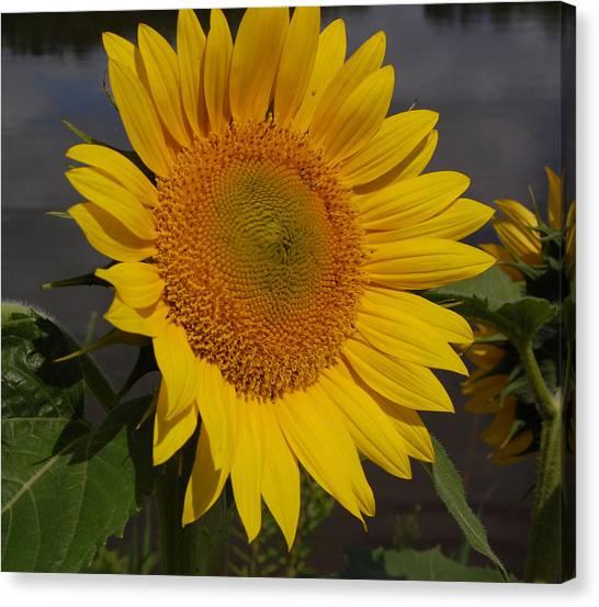 Canvas Print - Sunflower by Audrey Venute