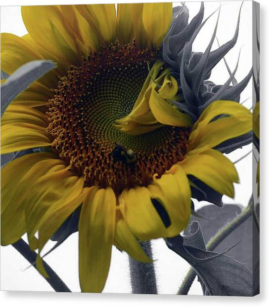 Sunflower Bee Canvas Print
