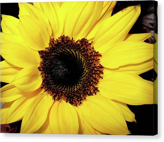 Sunflower Big And Beautiful Canvas Print by Julie Palencia