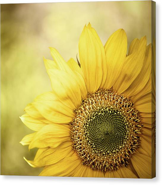 Sunflower Blossom With Bokeh Background Canvas Print by Elisabeth Schmitt