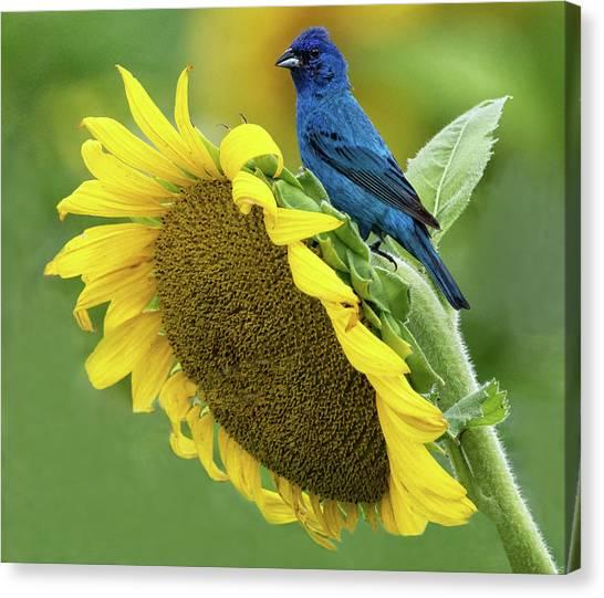 Sunflower Blue Canvas Print
