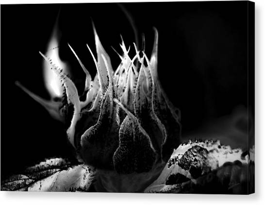 Sunflower Bud Abstract Canvas Print