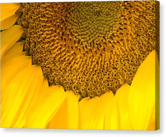 Sunflower Canvas Print by Charlie Hunt