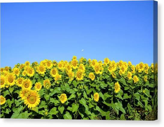 Sunflower City Canvas Print by Gary Smith