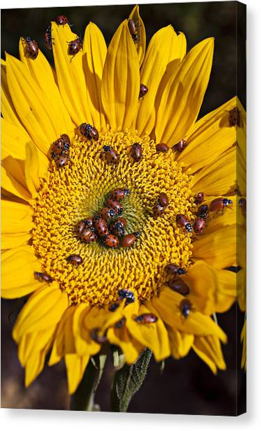 Ladybugs Canvas Print - Sunflower Covered In Ladybugs by Garry Gay