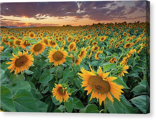 Consumerproduct Canvas Print - Sunflower Field In Longmont, Colorado by Lightvision