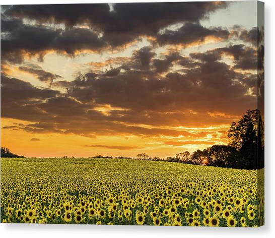Sunflower Fields Sunset Canvas Print