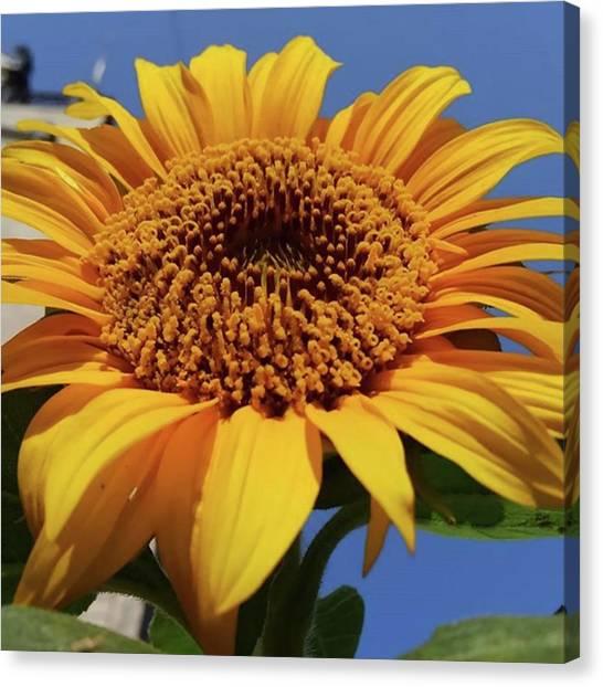 Sunflowers Canvas Print - Sunflower by Kumiko Izumi