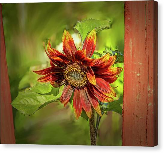 Canvas Print featuring the photograph Sunflower #g5 by Leif Sohlman