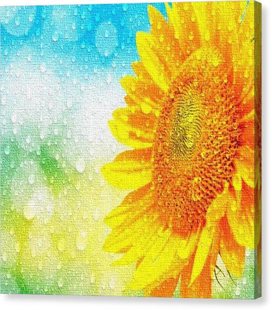 Sunflower In A Sunshower Canvas Print
