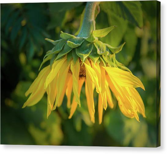 Canvas Print featuring the photograph Sunflower In Evening Light by John Brink