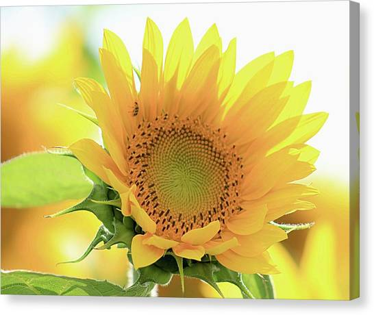 Sunflower In Golden Glow Canvas Print