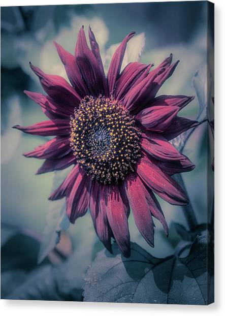 Canvas Print featuring the photograph Sunflower In Red by John Brink