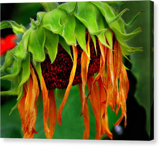 Sunflower In Repose Canvas Print