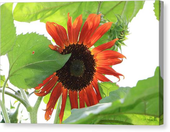 Sunflower In The Afternoon Canvas Print