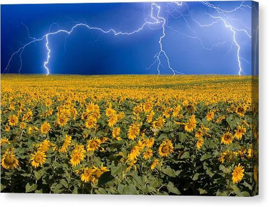 Sunflower Canvas Print - Sunflower Lightning Field  by James BO Insogna