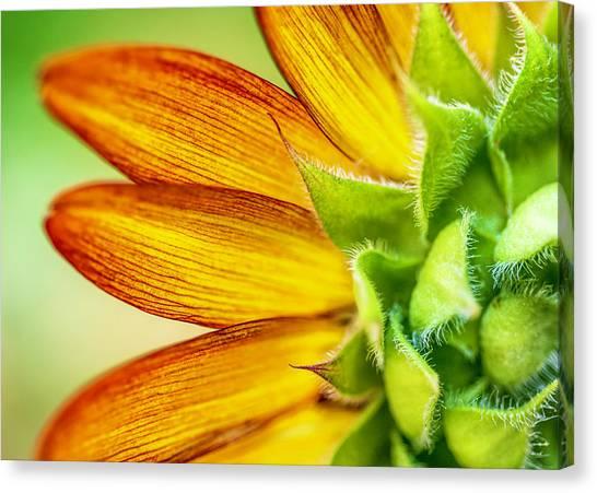 Sunflower Macro 1 Canvas Print