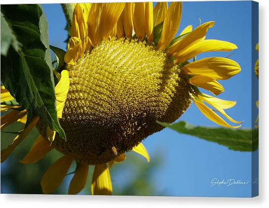 Sunflower, Mammoth With Bees Canvas Print