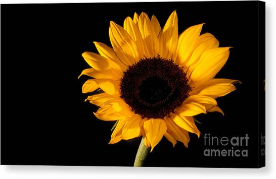 Sunflower Canvas Print by Michael Herb