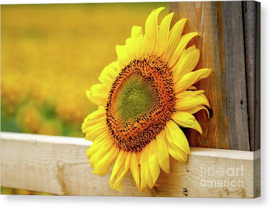 Sunflower On The Fence Canvas Print