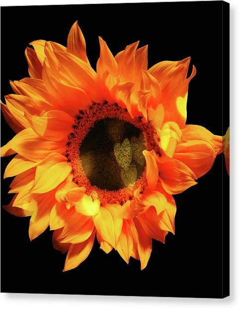 Sunflower Passion Canvas Print