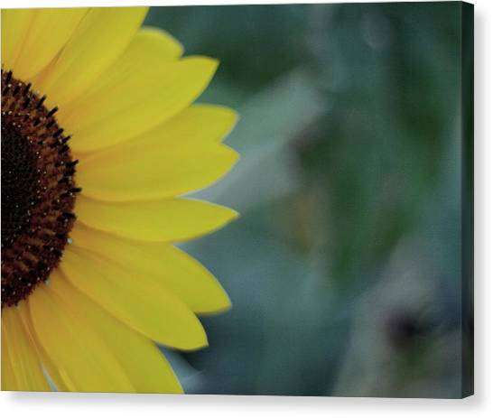 Sunflower Peeking.. Canvas Print