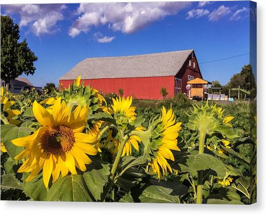 Sunflower Red Barn Canvas Print