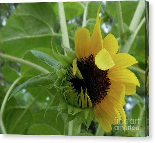 Sunflower Rising Canvas Print