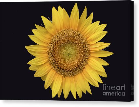 Canvas Print featuring the photograph Sunflower by Ron Sadlier