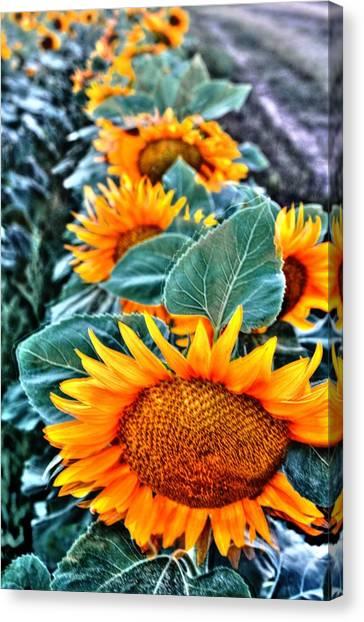 Sunflower Row Canvas Print