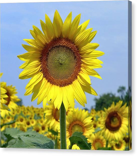 Canvas Print featuring the photograph Sunflower by Ryan Shapiro