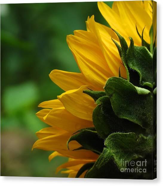 Sunflower Series I Canvas Print