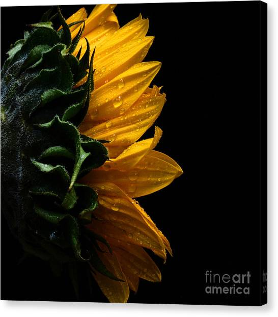 Sunflower Series IIi Canvas Print